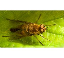 Therevidae on a strawberry leaf Photographic Print
