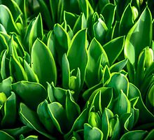 HIDDEN TULIP BUDS by pjm286