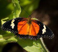Flutterer at Rest by OzPhoto