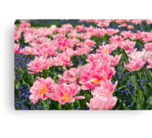 Blue forget-me-nots with pink tulips Canvas Print