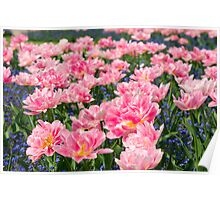 Blue forget-me-nots with pink tulips Poster