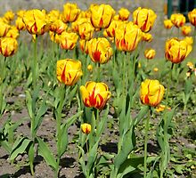 Springtime in Northern Scotland  -  TULIPS by Leslie-Ann