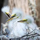 great egret juvi by Dennis Cheeseman