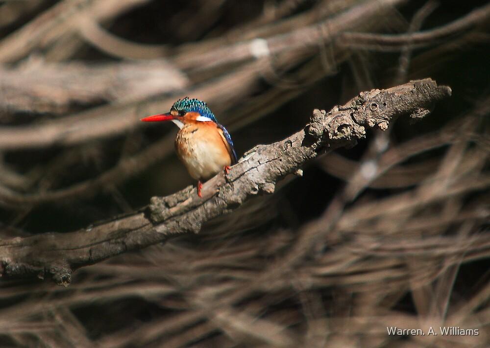 Malachite Kingfisher 1 by Warren. A. Williams