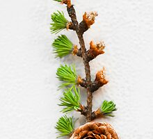 Pine Cone by Stephen Knowles