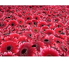 Gerbera background Photographic Print