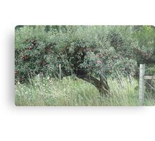 Apple Tree - Vintage Orchard - RAW Metal Print