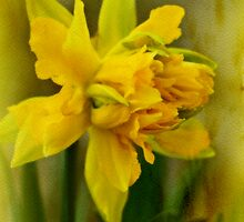 Old Fashioned Daffodil by MotherNature2