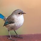 Splendid Fairy-Wren by mncphotography