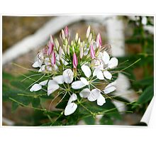 Pretty Pink & White Flowers Poster
