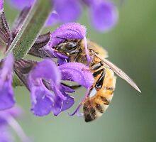 Honey Bee on Salvia Flower by Sheryl Hopkins