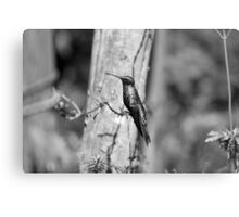 Hummingbird on Barbed Wire Canvas Print