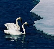 Trumpeter Swans on Tagish Lake by Yukondick