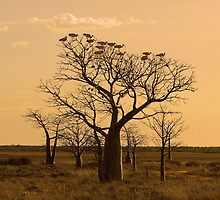 Boabs and Ibis by Rod Hartvigsen