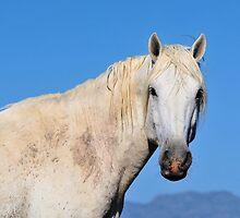 Friendly White Stallion-Close Up by Kelly Jay