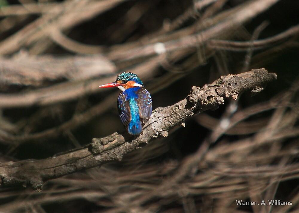 Malachite Kingfisher 2 by Warren. A. Williams