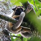 Mother and Joey - 2  - Lumholtz's Tree Kangaroo - FNQ  by john  Lenagan