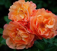 Apricot Beauties by Marion Sauer