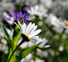 Soaking up the sun.   Daisy flower by Karen  Betts