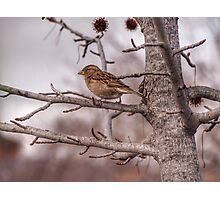 Winter Sparrow - Goulburn NSW Australia  Photographic Print