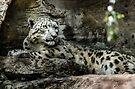 Snow Leopard by Adam Le Good