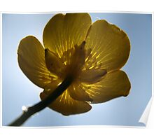 Backlit buttercup Poster