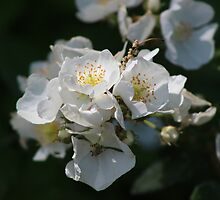 White Blossoms in the Light by Gilda Axelrod