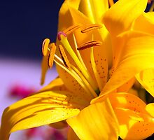 LILIUM ROYAL GOLD by PIMPINELLA