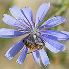Honeybee on chicory by Rina Greeff