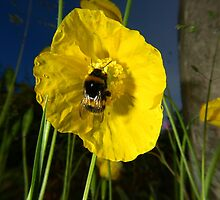 Bumblebee on yellow poppy by turniptowers