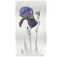 Purple Iris with Hummingbird Moth Poster