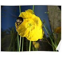 Bumblebee flying to yellow poppy Poster