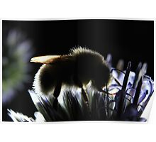 White-tailed bumblebee on globe thistle at sunset Poster
