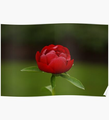 Solitary peony Poster