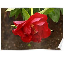 Peony After Rain Poster