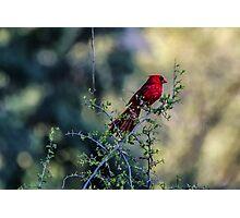 Northern Cardinal Photographic Print