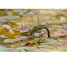 Emperor Dragonfly - Low Level Photographic Print