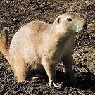 Prairie Dog by CreativeEm