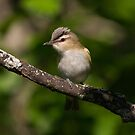 Red eyed vireo by jamesmcdonald