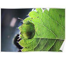 Immature common green shield bug Poster
