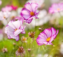 cosmos flowers growing  by Arletta Cwalina