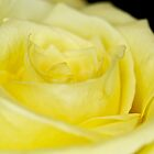 Yellow Rose Petals by lindsycarranza