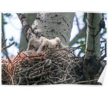Great Horned Owls (Babies) Poster