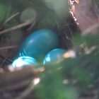 Blue Catbird Eggs by reindeer