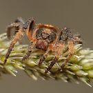 Wraparound spider - Dolophones sp. by Andrew Trevor-Jones