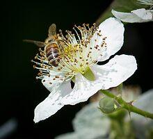 Bee on Blackberry Flower by RandyHume