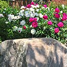Peonies in the garden by Shulie1