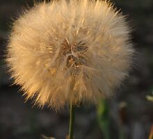 Big Fluffy Dandelion Seeds by wolf6249107