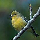 Lesser Gold Finch by zzsuzsa