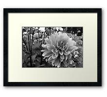 Dahlia graden Framed Print